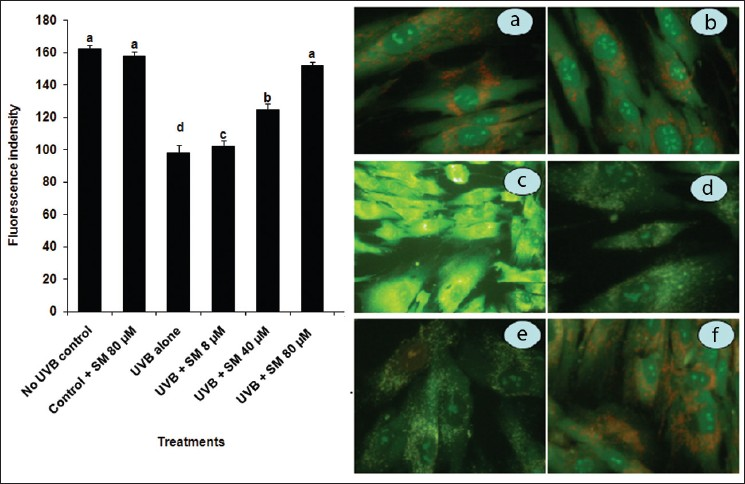 Figure 1: Protective effect of SM on UVB radiation-induced mitochondrial membrane potential (Δψm) alteration in HDFa. Δψm changes were observed under a fluorescence microscope after Rh-123 (bright red and green color) staining. UVB exposure increased loss of Δψm and emitted green fluorescence. SM treatment (8, 40 and 80 µM) before UVB exposure improved membrane potential loss and emitted red fluorescence. The percentage of fluorescence intensity was increased in a dose-dependent manner. values are given as means ± SD of three experiments in each group. values not sharing a common marking (a, b, c, …) differ significantly at <i>P</i><0.05 (DMRT), (a) Control, (b) SM (80μM), (c) UVB-irradiation, (d) UVB + SM (8μM), (e) UVB + SM (40μM), (f) UVB + SM (80 μM)