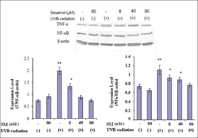 Figure 4: Effect of SM on UVB-induced activation of TNF-α and NF-кB in HDFa cells. HDFa cells were exposed to UVB (19.8 mJ/cm2) with or without treatment with SM (8, 40 and 80 μM) for 30 min. Cells were harvested at 4 h after UVB exposure, and cell lysates were prepared to determine the activation of TNF-α and NF-кB using Western blot analysis. SM treatment at concentrations of 8, 40 and 80 µM significantly down-regulated these protein expressions in a dose-dependent manner (compared with 0 mg/ml control group, <i>P</i><0.05). The graph represents the quantification results normalized to β-actin levels. Data represent the means ± SD of three individual experiments. *Significantly different from control cells (<i>P</i><0.05). **Significantly different from UVB-exposed cells (<i>P</i><0.05)