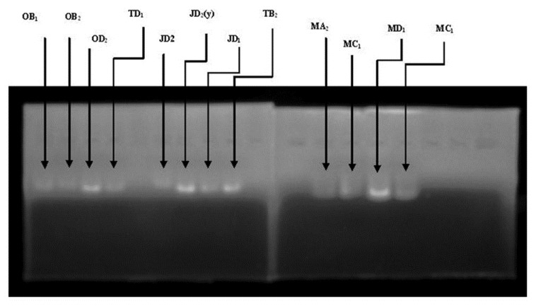 Figure 1: Quantification of Isolated Bacterial Genomic DNA of bacterial Isolates by Agarose Gel Electrophoresis