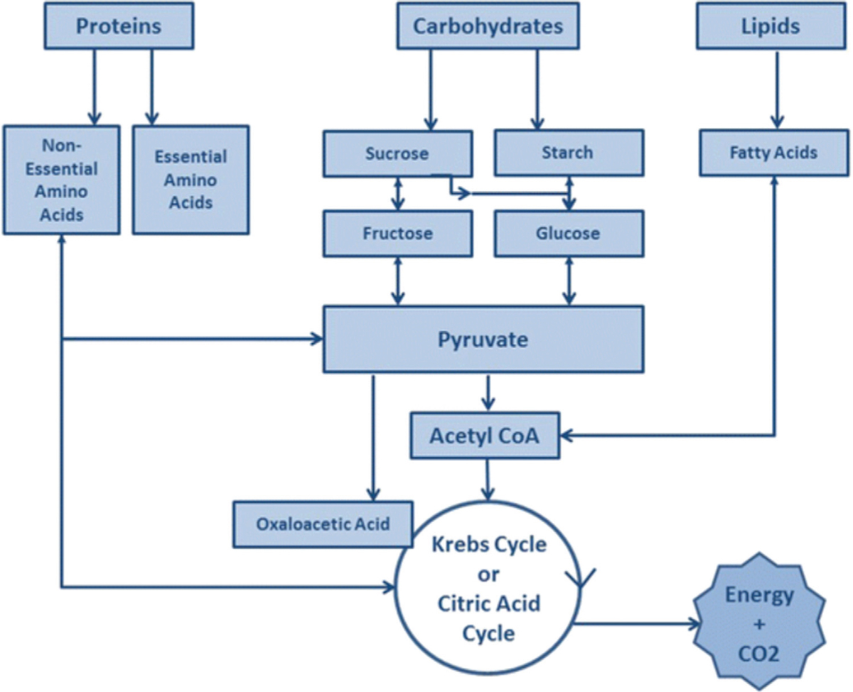 Figure 3 Metabolic pathways of carbohydrate, protein, and fat